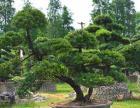 造型罗汉松盆景园林景观绿化苗木大中小型风景树