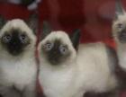 自家繁殖健康保证 纯种暹罗猫 聪明活泼健康包售后