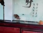 印尼四文虎鱼