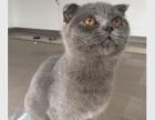 我有一窝英短蓝猫出售中:公的1600元一只喽
