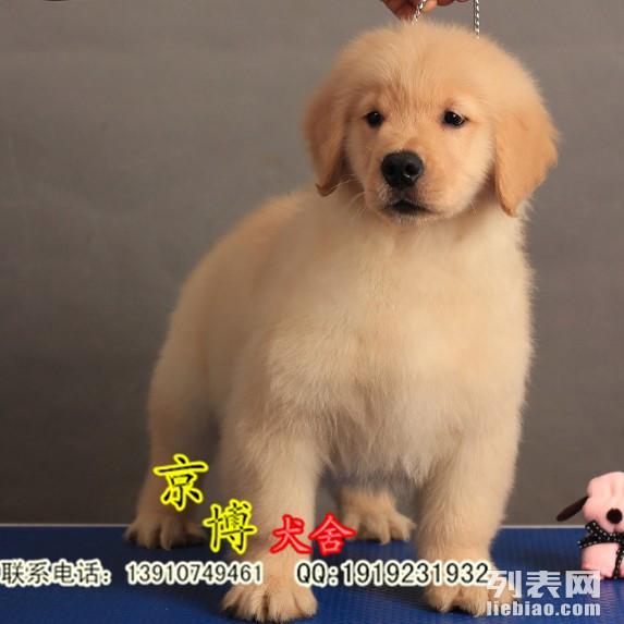 纯种金毛 大头金毛 金毛犬生活照 金毛犬多少钱 金毛幼犬价格