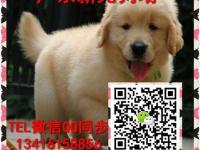 广州新光狗场出售纯种金毛犬拉布拉多阿拉斯加博美贵宾签协议