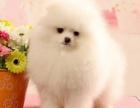 上海出售纯种萌宠博美宝宝专业狗舍品质保证,纯种健康,疫苗齐全