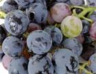 秋天吃葡萄好处多多长广摘葡萄