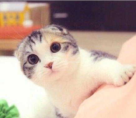哪里有折耳猫 折耳养殖 折耳幼猫转让