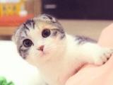 里有折耳貓 折耳養殖 折耳幼貓轉讓