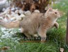 高端宠物猫繁殖英短美短加菲布偶多窝出售包健康