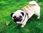 出售纯种巴哥犬 巴哥幼犬 品质好信誉高质量保