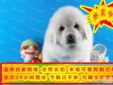 狗证 健康证 血统证 纯种健康大白熊犬 签订协议