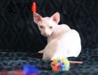 纯种无毛猫猫舍 上海爱宠网 多只挑选有保障
