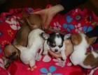 浦东哪里有吉娃娃犬卖 浦东吉娃娃犬价格 浦东吉娃娃犬多少钱