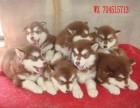 威武,高贵气质雪橇犬 专业繁殖纯种十字脸阿拉斯加