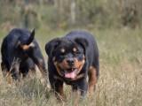 极品罗威纳幼犬 疫苗齐全包三年质保协议