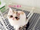 正规猫舍多只加菲猫出售