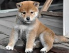 东莞哪里可以买到柴犬狗狗呢