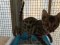 三个月的孟加拉豹猫宝宝