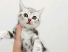美短包三针疫苗另送猫咪用品