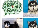 出售纯种阿拉斯加犬活体幼犬黑色灰红色雪橇犬