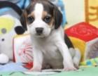 比格宝宝 随时看狗 多窝选择 疫苗齐全