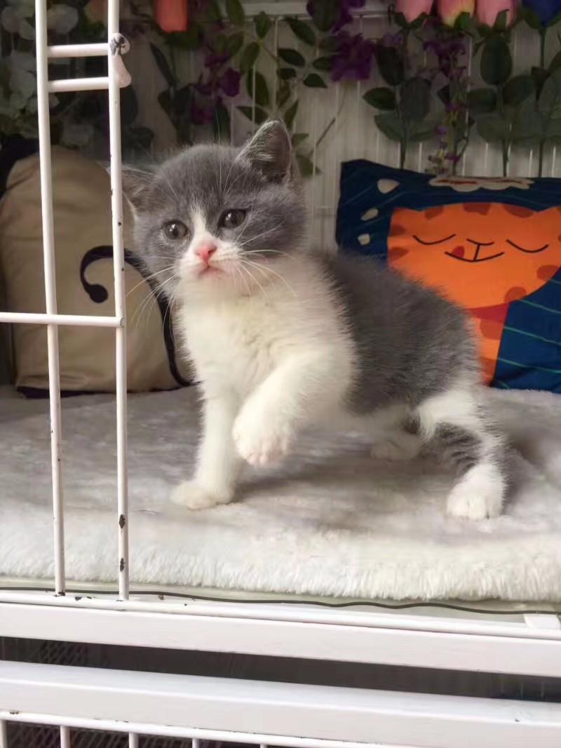 合肥哪里卖蓝白猫 合肥纯种蓝白猫价格 合肥哪里的蓝白猫便宜