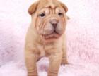哪里有卖沙皮沙皮多少钱沙皮图片沙皮幼犬