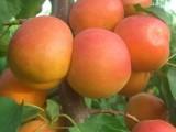 临沂杏树苗基地,贵妃杏树苗,红杏苗,凯特杏树苗