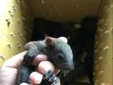 出售17年魔王松鼠幼鼠
