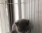 英短蓝猫,三花两个多月