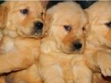 西安那里有金毛犬卖 西安金毛犬价格 西安金毛犬多少钱