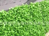 批发供应美味萝卜苗 萝卜芽苗菜 旭阳大量生产 芽苗菜专用有机肥