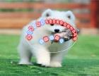 澳版 熊版萨摩幼犬 纯种公母齐全可以做健康体检
