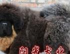 纯种藏獒 大狮子头藏獒 红獒 铁包金藏獒 幼犬价格