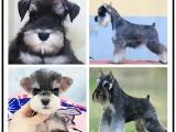 自己家養的雙血統雪納瑞犬 顏值高 忍痛出售