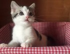 合肥哪里有短毛猫卖 合肥短毛猫价格 合肥哪里卖健康的短毛猫