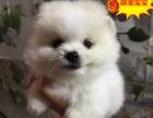 博美绒毛犬, 高贵的气质