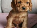 萌宠可卡犬正在等你带它回家哦!