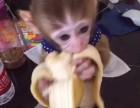 河南省平顶山市哪里有卖袖珍石猴宠物猴