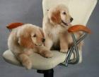 如此畅销 难以低调 金毛幼犬不忽悠的品质