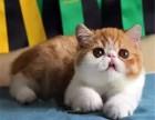 深圳正规猫舍 纯种加菲猫出售 专业繁殖 包活