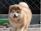强力推荐纯种阿拉斯加幼犬 超帅气 超大形体纯种