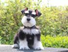 自家大狗生了一窝雪纳瑞可以上门看狗父母
