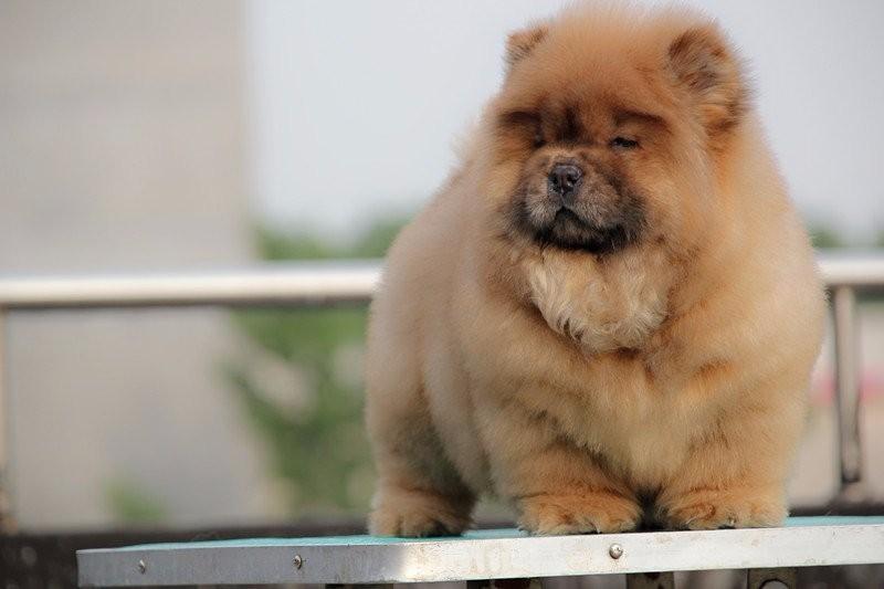 出售纯种松狮幼犬/ 面包脸毛多肉嘴紫舌奶油