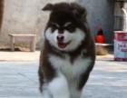 熊版黑色阿拉斯加雪橇犬犬舍直营阿拉宝宝全程保障