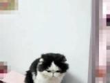 自家繁育加菲猫宝宝出售
