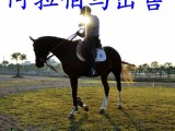 什么品种的骑乘马适合在景区营业?国产改良马多少钱一匹