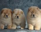 西安狗狗之家长期出售高品质 松狮 售后无忧