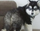 出售纯种阿拉斯加雪橇犬十字脸大型巨型犬幼犬上海实体店可看