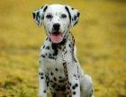 斑点狗价格 斑点狗多少钱 纯种斑点狗多少钱一只