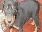 北京国泰宠物狗场出售标准健美杜宾多少钱纯种杜宾犬多少钱