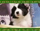 高智商边牧犬 赛级血统有证书芯片 种犬对外借配
